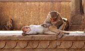 Monkeys — Stockfoto