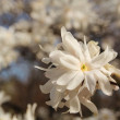 Magnolia flower - Stockfoto