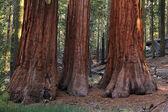 Sequoia — Stock Photo