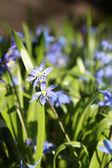 Spring blue bells — Stock Photo