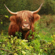 Stock Photo: Highland cow