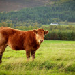 Brown cow — Stock Photo #35867517