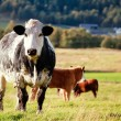 Curious cow — Stock Photo