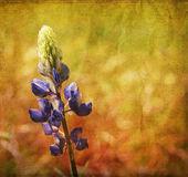 Blaue lupine — Stockfoto
