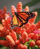 Monarch — Stock Photo