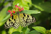 Idea leuconoe butterfly — Stock Photo