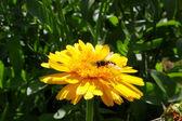Wasp on yellow flower calendula — Photo