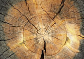 Longitudinal section of a tree trunk — Stock Photo