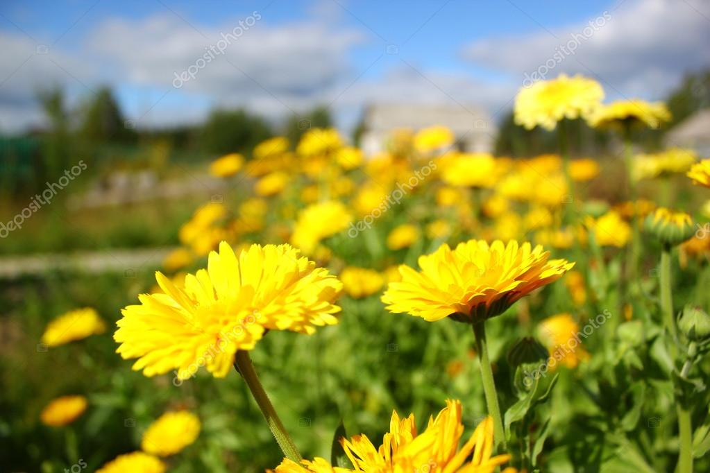 Yellow marigold flowers medicinal, or Calendula officinalis — Stock Photo #12292697