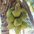 Coconut is - a drupe on a palm tree by the sea — Stock Photo