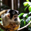 Common Marmoset (Callithrix jacchus jacchus) — Stock Photo