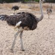 Full body shot of an Ostrich — Stock Photo