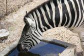 Standing Zebra drinking water — Stock Photo