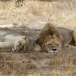 ������, ������: Two Lions