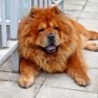 Brown chow chow living in the european city — Stock Photo