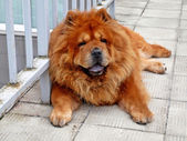 Brown chow chow living in the european city — ストック写真
