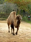 Bactrian camel at Riga zoological garden — Stock Photo