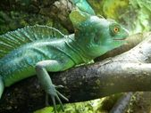 Green lizard chameleon at Riga zoological garden — Stock Photo