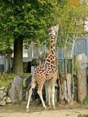 Giraffe at Riga zoological garden — Stock Photo