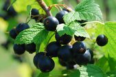 Close up to branch and hanging blackcurrants. Sunny summer day. — Stock Photo