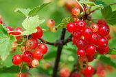 Redcurrants ripen in the sun — Stock Photo