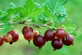 Red gooseberries hanging on a bush.  — Stock Photo