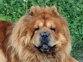 Brown friendly chow-chow dog  — Photo