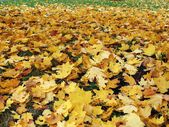 Mapple leaves in the beautiful autumn park — Stock Photo