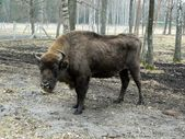 Bison at Lithuania Park  — Stock Photo