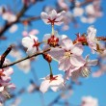 Sakura blommor blommar. vacker rosa körsbärsblommor — Stockfoto