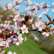 Sakura flowers blooming. Beautiful pink cherry blossom — Stock Photo #45022473
