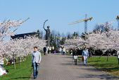Sakura blossom at Vilnius city on April 19, 2014 — Stock Photo