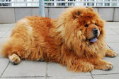 Brown chow chow dog living in the european city.  — Stock Photo