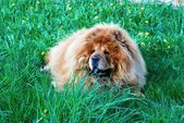 Brown chow chow dog Dina in the grass. — Stock Photo