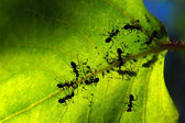 Ants on green leaf — Stock Photo