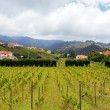 Vineyard in Madeira  coast east — Stock Photo