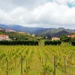 Vineyard in Madeira coast east — Stock Photo #12372989