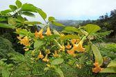 Datura, hallucinogenic plant Madeira — Stock Photo