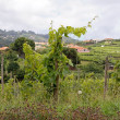 Vineyards in Madeira, east coast — Stok fotoğraf