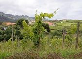 Vineyards in Madeira, east coast — Stock Photo