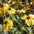Rudbeckias thirsty, water shortages in late summer — Stock Photo