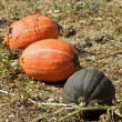 Pumpkins in the garden — Stock Photo