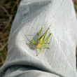 Stock Photo: Grasshopper settled on trouser leg