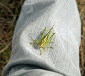 Grasshopper settled on a trouser leg — Stock Photo