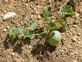 Small melon maturing on the ground, at the end of summer — Stock Photo
