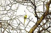 Collared parakeet in Paris region (France) — Stock Photo