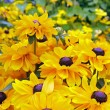 Yellow rudbeckias with a purple heart — Stockfoto