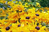 Rudbeckias giallo con un cuore viola — Foto Stock