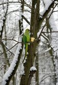 Collared parakeet eating an apple, a forest of France — Stock Photo