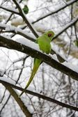 Collared parakeet, a forest of France — Stock Photo